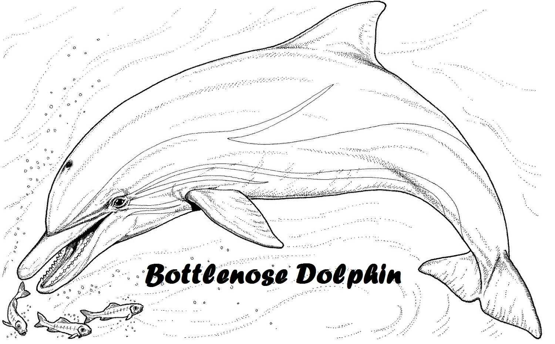 bottlenose-dolphin-clip-art