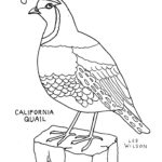 california-quail-coloring-picture