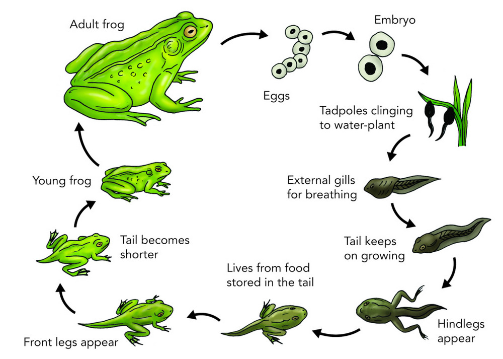 frog-life-cycle-clip-art