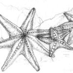 realistic-starfish-coloring-page