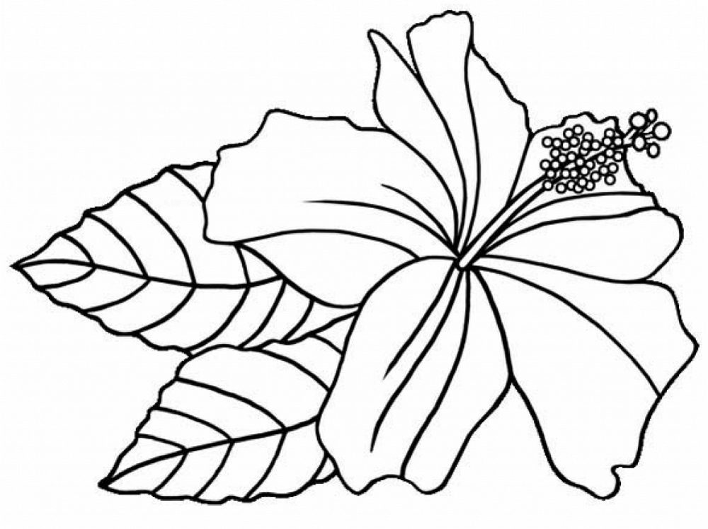 Hibiscus Flower Printable Coloring Sheets Floriculture
