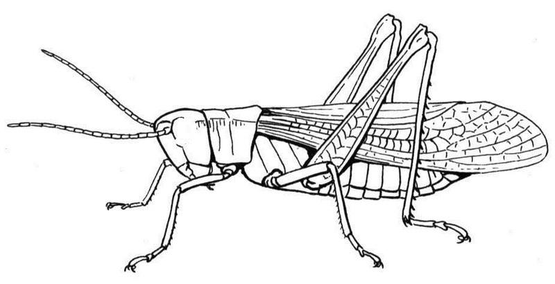realistic grasshopper coloring picture
