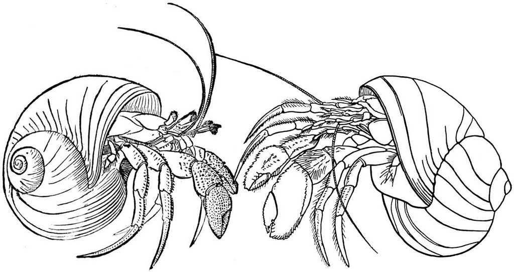 hermit crab male and female coloring page