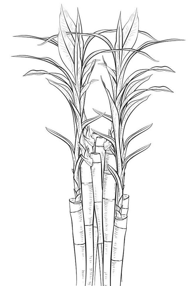 bamboo coloring page bamboo shoots coloring picture