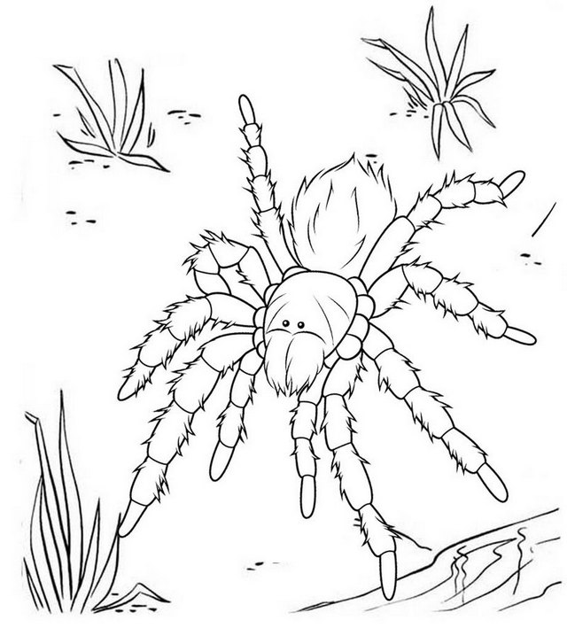 Australian Tarantula Coloring Page
