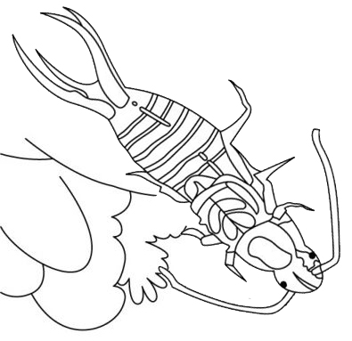 fun earwig insect coloring page for kids