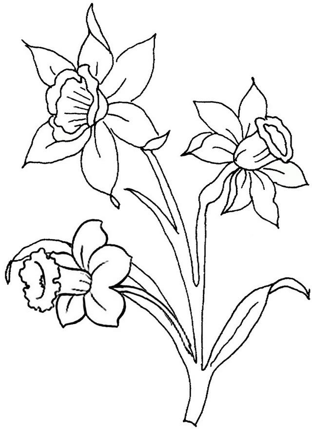 beautiful daffodils coloring page