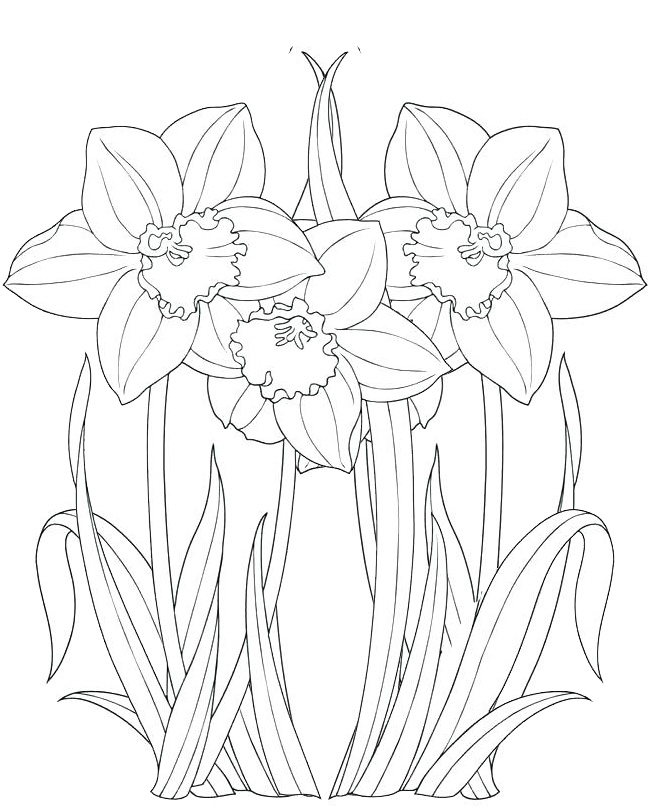 best daffodils coloring page for girls