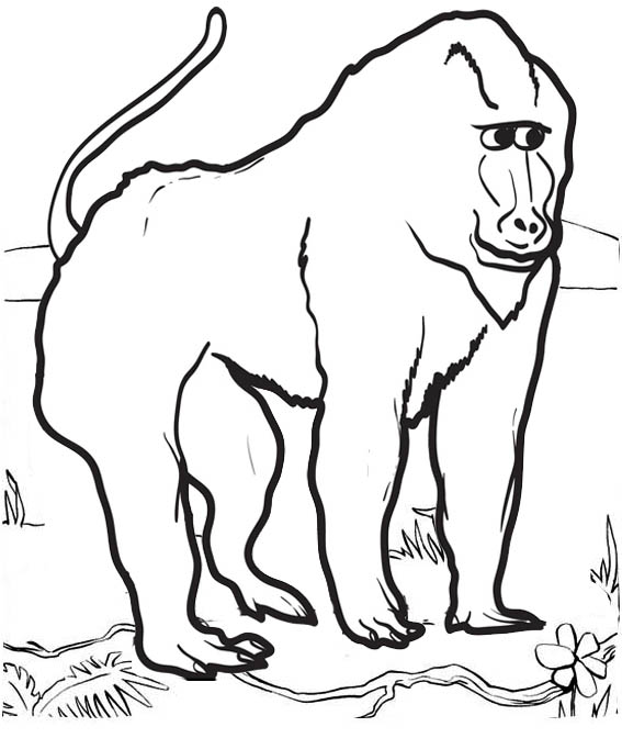 Real Baboon Coloring Page