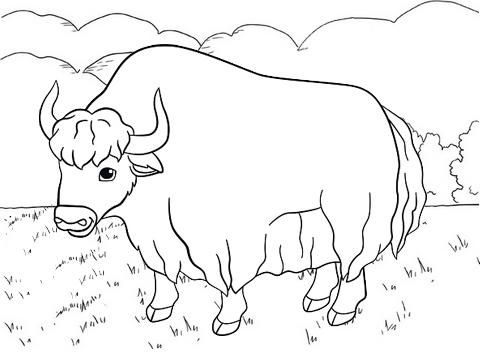 the himalayan yak coloring page