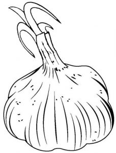 garlic plant growing coloring page